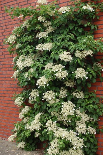 Photo Image Can Climbing Hydrangea Grow in Shade and Bloom